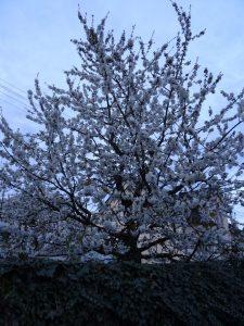 und Frühjahr ists! Herrliche Kirschbüten