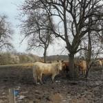 Die Fleischkühe unter dem Baum