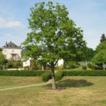 Der neue Baum an der Künziger Kapelle